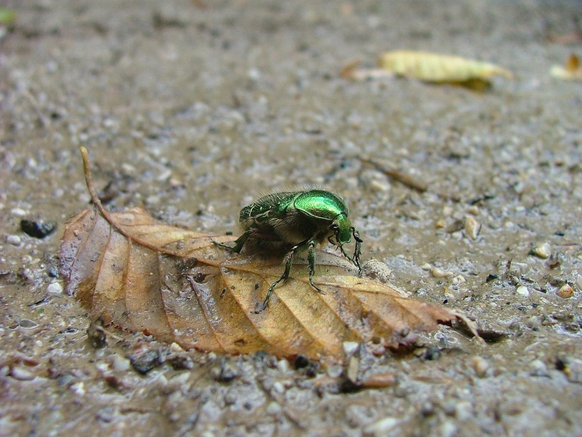 Бронзовка золотистая: как бороться с вредителем. Нашествие жука: бронзовка мелкая зеленая и методы борьбы с ней